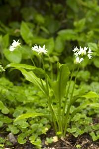Jadis, l'Allium ursinum était considéré comme une plante magique associée à la magie blanche. On pensait que porté par une femme enceinte dans ses poches, il protégerait l'enfant à naître. L'ail sauvage a toutes les propriétés de l'ail cultivé3.