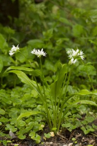C'est une plante de sous-bois frais et ombragés, à fleurs blanches de 20 à 50 cm de hauteur. Lorsque son feuillage est légèrement froissé, elle dégage une forte odeur - caractéristique - d'ail. C'est une plante sociale qui forme parfois de vastes colonies dans les sous-bois frais ou le long des ruisseaux. Les feuilles apparaissent en février-mars et les fleurs d'avril à juin. La période de la récolte se termine avec les premières fleurs. L'odeur et/ou le goût dégoûterait les herbivores de la manger.
